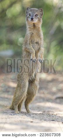 Yellow Mongoose stand up straight on the Kalahari desert sand in the shade
