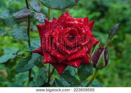 Natural Red Rose Flower With Water Drops On Green Bush In The Garden.