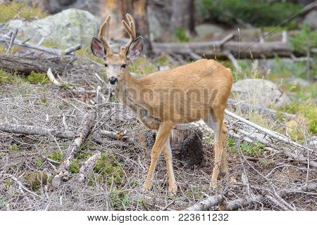 Young Mule Deer Buck - Wild Deer In the Colorado Great Outdoors