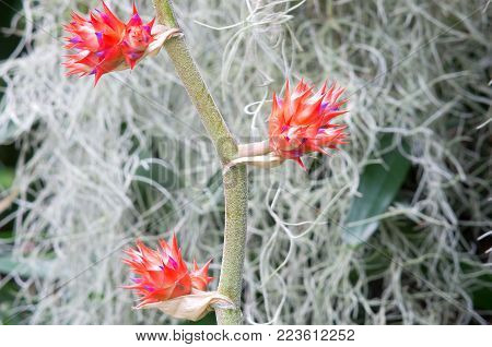 three bromeliad or bromeliaceae flowers in full bloom on stalk and surrounding flora