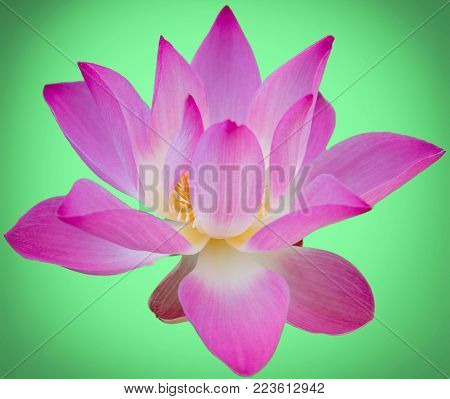 Lotus Flower On A Green Background. Still Life In Sunny Day