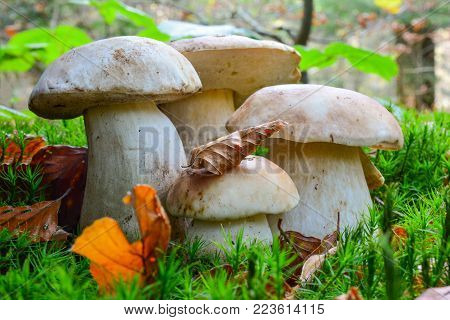 Boletus edulis or Penny Bun, or Cep in natural habitat, group of four young, helthy specimen of different sizes in a moss, with some autumn beech leaves