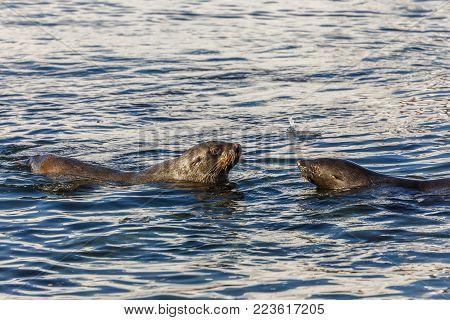 Fur seal swimming together in cold sea waters close to7 Half Moon Island, Antarctic peninsula