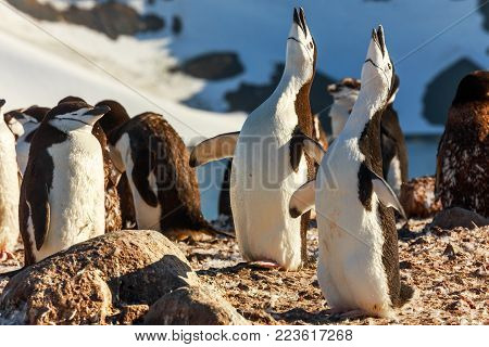 Duet of singing chinstrap penguins chicks, Half Moon island, Antarctic peninsula
