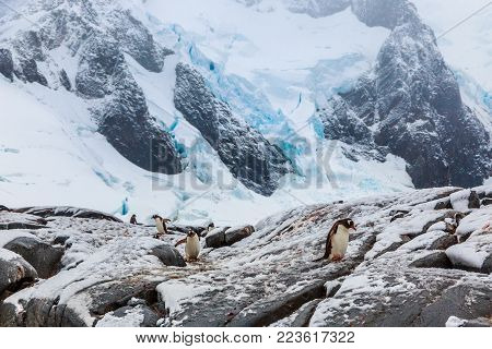 Gentoo pengins walking on the snow with blue glacier in the background, port Charcot, Booth island, Antarctic peninsula