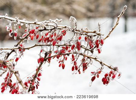 Icy Branches With Red Berries Of Barberry