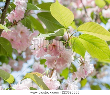Blossoming branches of Japanese cherry. Beautiful pink flowers background
