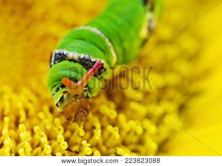 Swallowtail butterfly is beautiful but like a caterpillar larva looks a bit weird, Papilio demodocus Esper, Lepidoptera: Papilionidae,