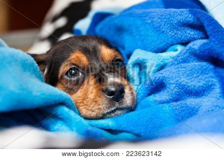 Jack Russel puppy wrapped in blanket dog kernels, save the dogs