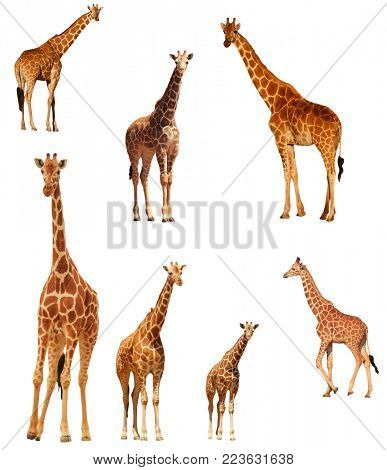 Giraffes isolated. Reticulated Giraffe cutout on white background