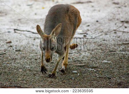 Kangaroo. Kangaroo walks in the savanna in Australia.