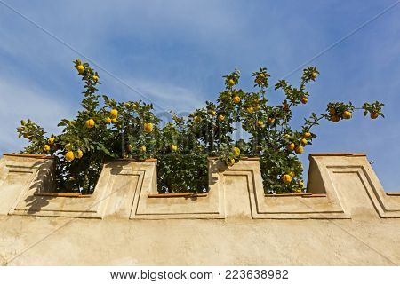 Concrete wall with big yellow Quince fruit tree growing behind (Cydonia oblonga)