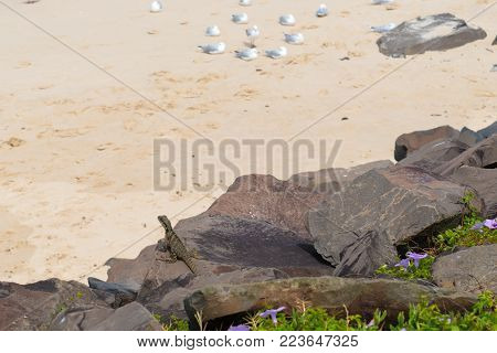 Australian water dragon in coastal sand beach environment