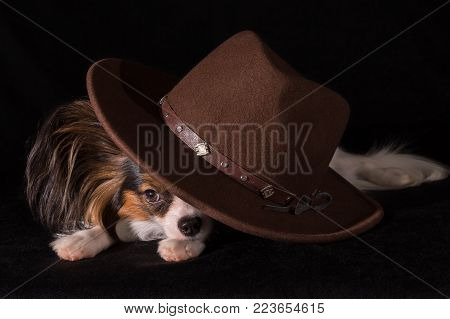 Beautiful dog Continental Toy Spaniel Papillon in a brown felt hat on a black background