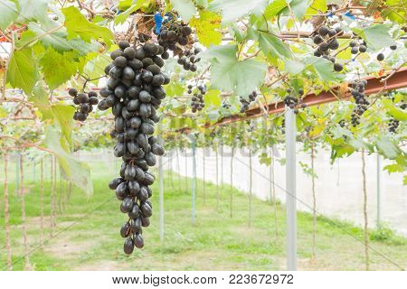Black grapes in grape garden or vineyard. Black grapes with green leaf. Black grape vineyard in sunshine day. Ripe black grape for health  or diet in left position