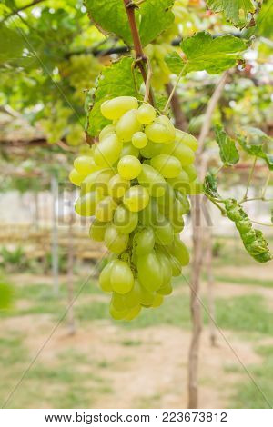 Green grapes in grape garden or vineyard. Green grapes with green leaf. Green grape vineyard in sunshine day. Ripe green grape for health or diet portrait view