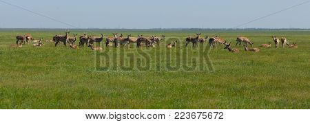 Herd of deers peacefully resting in the steppe. Shot made in reservation (national park) Askania Nova, Ukraine