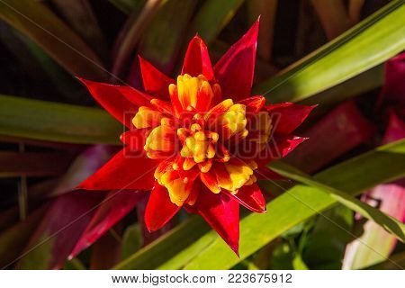 Red and beautiful pineapple flowers in the garden.