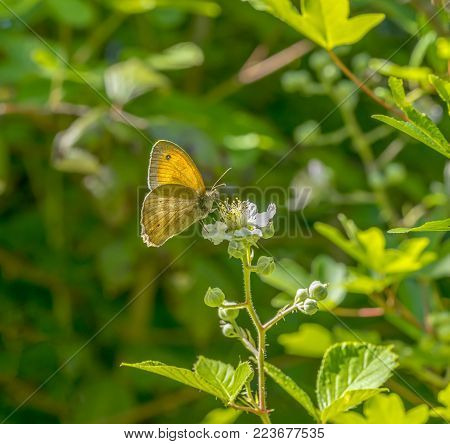 meadow brown butterfly in natural sunny ambiance