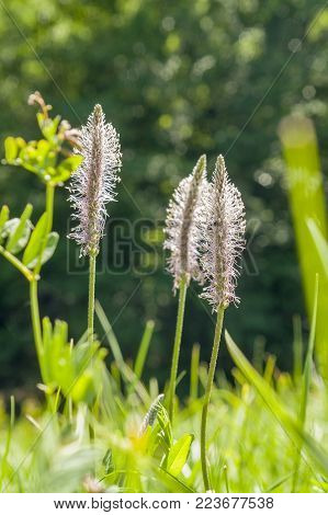 low angle shoot of some hoary plantain flowers in sunny ambiance at summer time