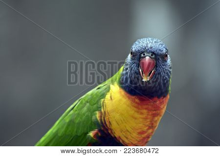 this is  a close up of a ranbow lorikeet