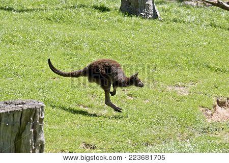 the kangaroo-Island  kangaroo is bounding across the paddock