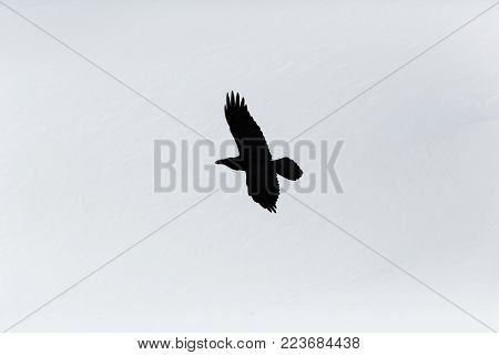 silhouette of natural northern raven (corvus corax) in flight, snow