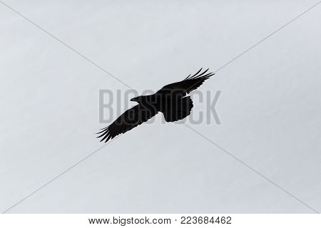 silhouette of natural northern raven (corvus corax) in flight, white background