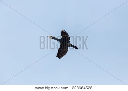 natural great cormorant bird (phalacrocorax carbo) flying with spread wings