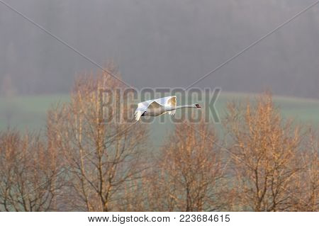 one natural mute swan (cygnus olor) in flight, leafless trees