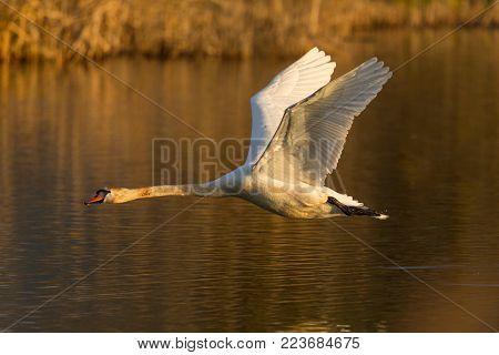 natural flying mute swan bird (cygnus olor), water surface, reed belt, morning light