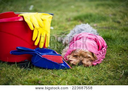 Yorkshire Terrier with bucket and shovel in the meadow, spring cleaning
