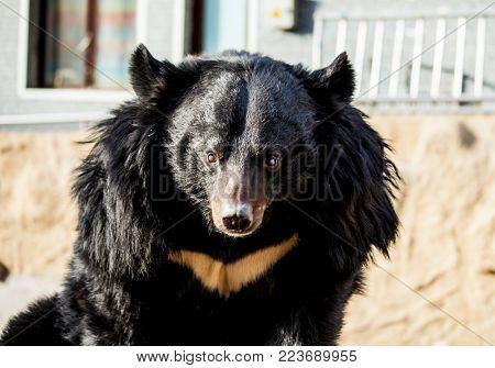 Himalayan bear. Circus bear, on a swing. Bear close-up.