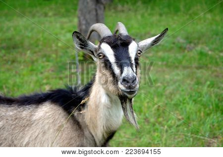 Organic farming. A gray goat with large horns. Portrait of a goat on a green background