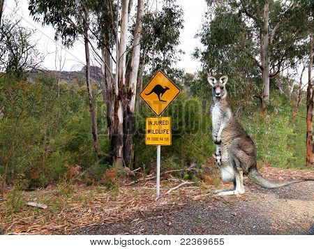 Injured wildlife sign and kangaroo poster