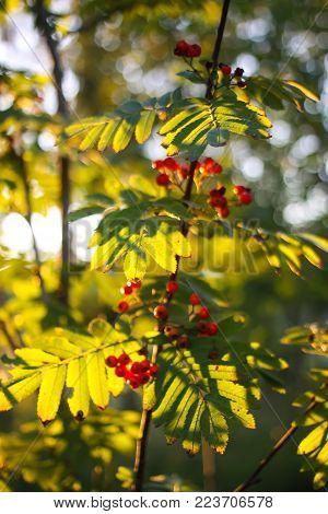 Rowan-tree branch with rowanberry in autumn park.
