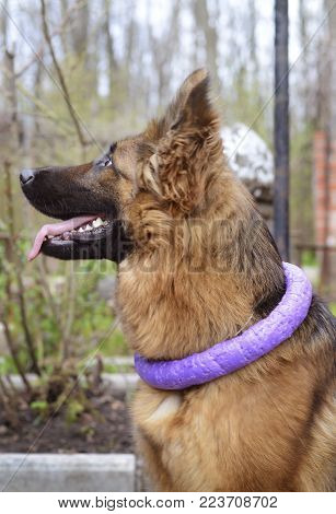 Portrait of Young Fluffy German Shepherd Dog in the Forest. Walks With Pets Outdoor.