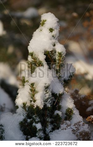 Snow barbed branch of juniper in the sun, snowflake closeup in the sun