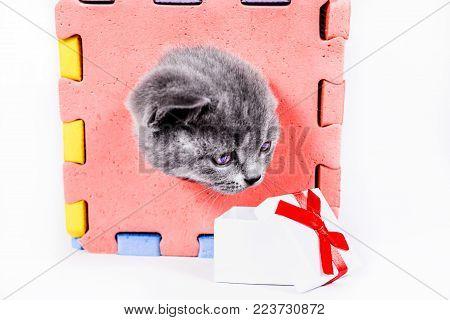 playful Scottish Straight kitten with gift box on white background