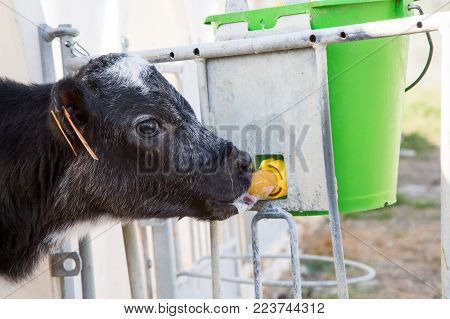 New Calf Born Suckling A Baby Bottle Of Milk In Weaning Stables