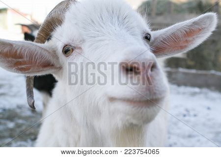 White Goat With Big Horns And A Collar Eating Hay From The Stack