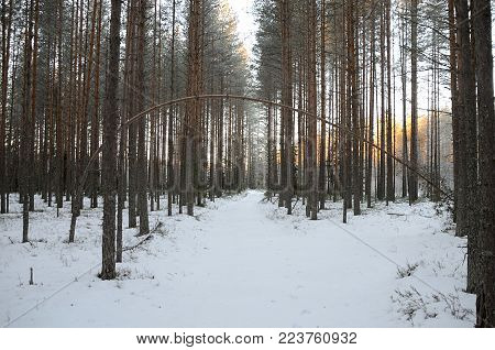 Pine curves. Pine arc over the path in wintery forest.