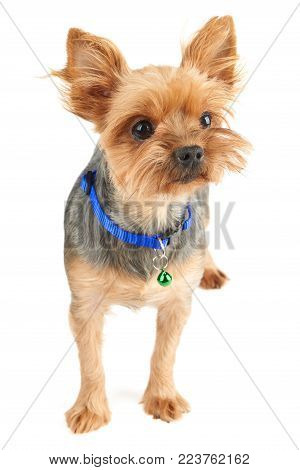 Yorkshire Terrier with short hair isolated on white background. It wears blue pet's collar with green bell.