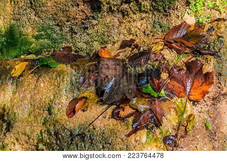 A wet wall of a mountain with lying rotting autumn leaves of trees on it closeup