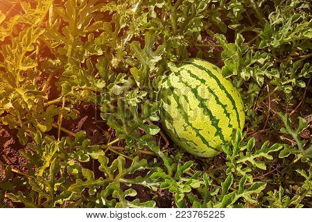 Young green striped watermelon grows on vegetable bed. Large watermelon grows in a garden. Ripe watermelon.