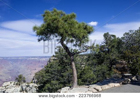 A tree at the edge of the Rim Trail at the Grand Canyon National Park