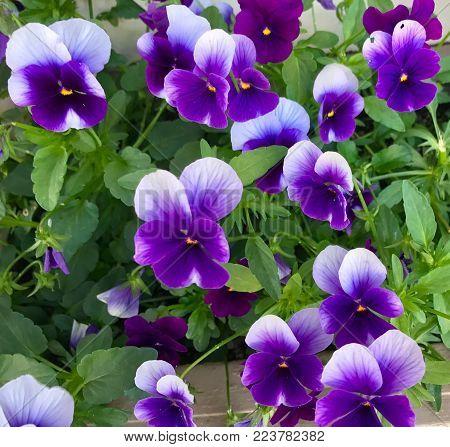 purple violets, pansies, johnny jump-ups, flowers, floral