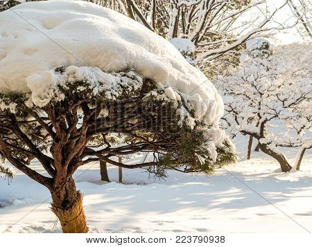 Bonsai tree in Tokyo park covered in snow. Following a rare snow storm in Tokyo Japan, a bonsai tree in an inner city park is covered in snow. It's winter straw belt to protect against moth larvae is wrapped around its trunk.