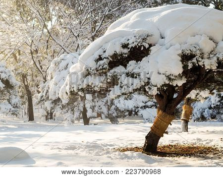 Bonsai trees in Tokyo park covered in snow. Following a rare snow storm in Tokyo Japan, bonsai trees in an inner city park in Tokyo are covered in snow in a rare winter wonderland scene.