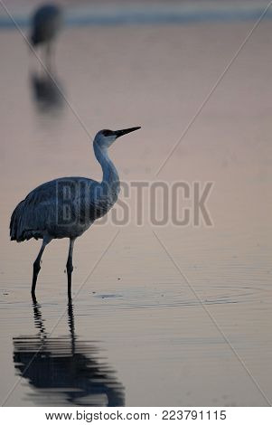 A sandhill crane standing in the shallow water at Bosque Del  Apach NWR. poster